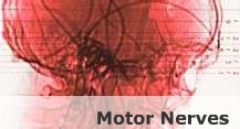 motor-nerves